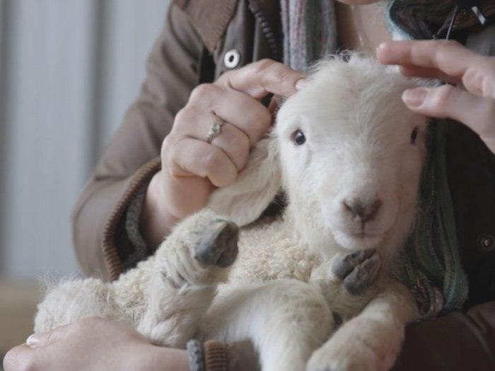 the_story_of_british_wool_starting_with_the_womans_weekly_lamb1.jpg